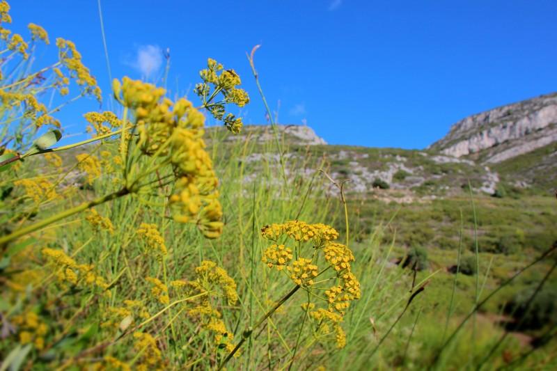 fleurs-massif-de-l-etoile-nature-oti-aubagne-1177